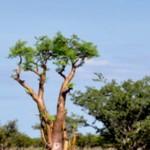 Moringa – Jungbrunnen für die Zellen